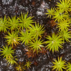 Juniper Haircap, Polytrichum juniperinum 6727