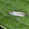 Two-spotted Grass Bug, Stenotus binotatus 6836