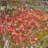 Common Sundew, Drosera rotundifolia 6808