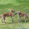 Red Fox, Vulpes vulpes 6951