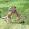 Red Fox, Vulpes vulpes 6954