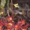 Common Sundew, Drosera rotundifolia 6803