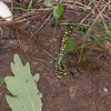 Southern Hawker egg laying in mud, Aeshna cyanea 8391