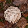 Stinkhorn, Phallus impudicus 8422