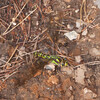 Southern Hawker egg laying in mud, Aeshna cyanea 8367
