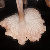 Lilac Bonnet, Mycena pura 8472