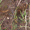 Southern Hawker egg laying in mud, Aeshna cyanea 8398