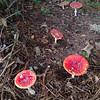 Fly Agaric, Amanita muscaria 558033