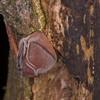 Jelly Ear Fungus, Auricularia auricula-judae 3231