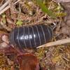 Pill Woodlouse, Armadillidium vulgare 7640