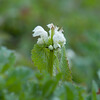 White Dead-nettle, Lamium album 7718