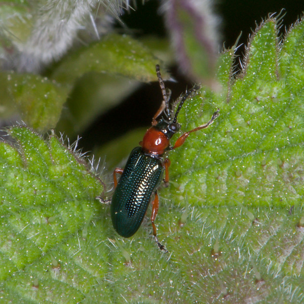 Cereal Leaf Beetle, Oulema rufocyaneamelanopa agg 7660