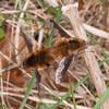 Dark-edged Bee-flies mating, Bombylius major 7629