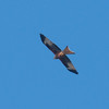 Red Kite, Milvus milvus 7872