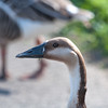 Swan Goose, Anser cygnoides 7941