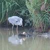 Grey Heron, Ardea cinerea 4585