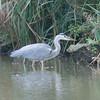 Grey Heron, Ardea cinerea 4532