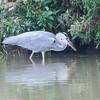 Grey Heron, Ardea cinerea 4572