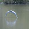 Grey Heron, Ardea cinerea 4554