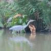Grey Heron, Ardea cinerea 4552
