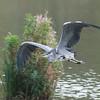 Grey Heron, Ardea cinerea 4603-2