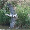 Grey Heron, Ardea cinerea 4606