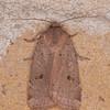 Lesser Yellow Underwing, Noctua comes 4495