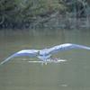 Grey Heron, Ardea cinerea 4557