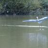 Grey Heron, Ardea cinerea 4560