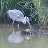 Grey Heron, Ardea cinerea 4583