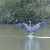 Grey Heron, Ardea cinerea 4563