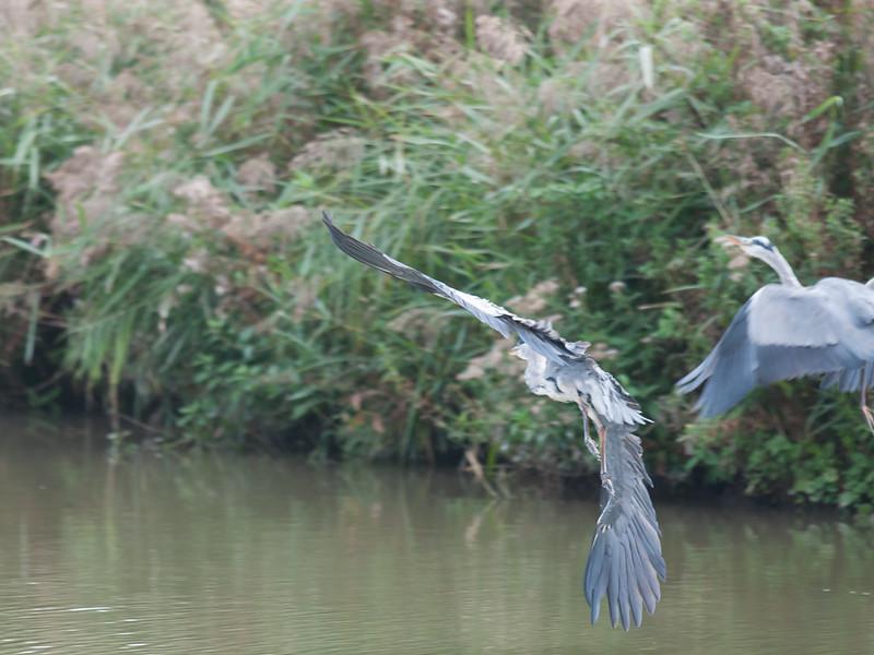 Grey Heron, Ardea cinerea 4608
