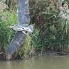 Grey Heron, Ardea cinerea 4605