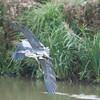 Grey Heron, Ardea cinerea 4607