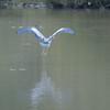 Grey Heron, Ardea cinerea 4553