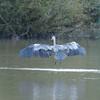 Grey Heron, Ardea cinerea 4562