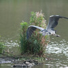 Grey Heron, Ardea cinerea 4603
