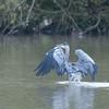 Grey Heron, Ardea cinerea 4564
