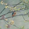 Kingfisher, Alcedo atthis 4601