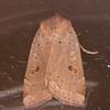 Lesser Yellow Underwing, Noctua comes 4492