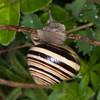 White-lipped Snail, Cepaea hortensis 1428