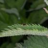 Plain Gold, Micropterix calthella 9714