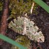 Green Carpet, Colostygia pectinataria 9683