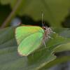 Green Hairstreak, Callophrys rubi 0769