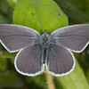 Small Blue, Cupido minimus 1536