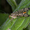 Scorpion fly female, Panorpa species 9688