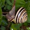 White-lipped Snail, Cepaea hortensis 1427