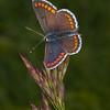 Brown Argus, Aricia agestis 1245