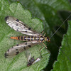 Scorpion fly female, Panorpa species 9676