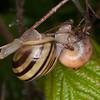 White-lipped Snail, Cepaea hortensis 1379